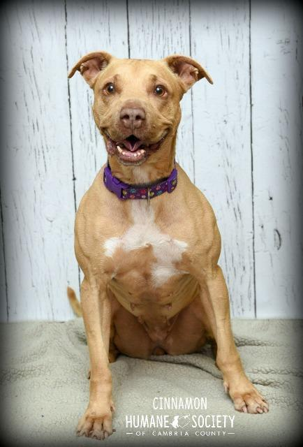 Cinnamon, an adoptable Pit Bull Terrier in Johnstown, PA
