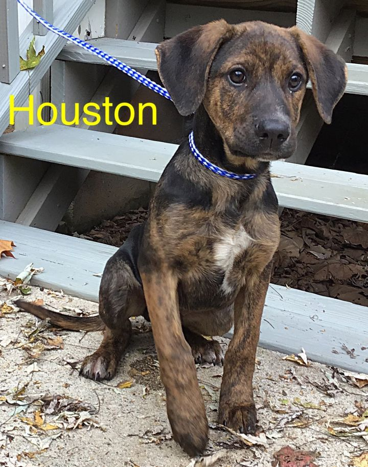 Houston, an adopted Mountain Cur Mix in Dahlonega, GA