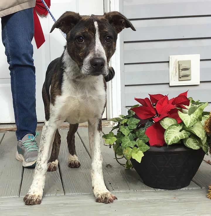 Moon, an adopted Mountain Cur Mix in Dahlonega, GA