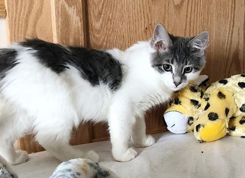 Pucci, an adoptable Domestic Medium Hair Mix in Springfield, OR
