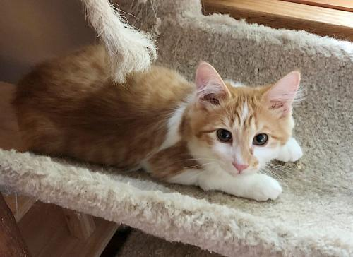 Emilio, an adoptable Domestic Medium Hair Mix in Springfield, OR