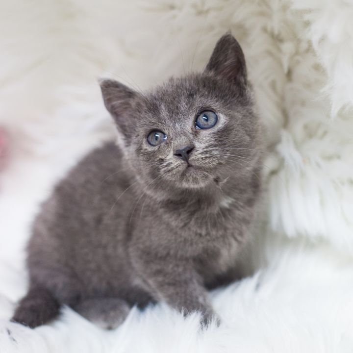 Oolong, an adopted Russian Blue & Domestic Short Hair Mix in Ponte Vedra, FL