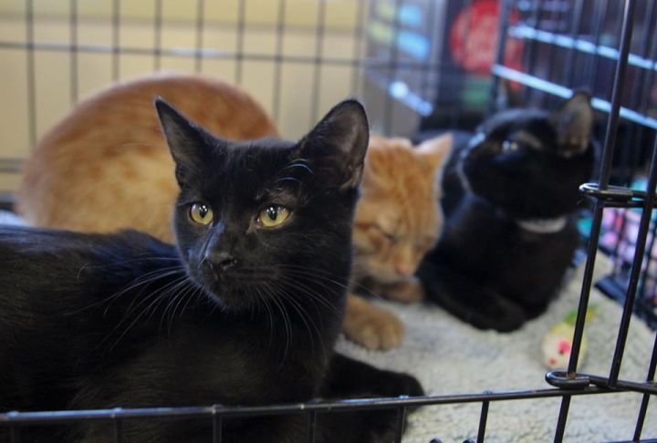 Professor Plum, Miss Scarlet, Dr. Black, an adoptable Bombay & Domestic Short Hair Mix in Mission Viejo, CA