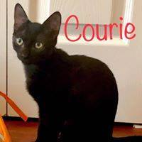 Estimated birth date 72019 Courie Kitten Female about 56 months old Black Cautious Personality Pre