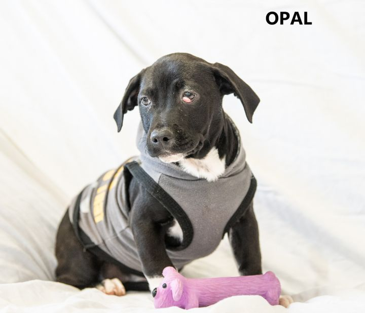Opal, an adopted Black Labrador Retriever & Border Collie Mix in Washington, GA