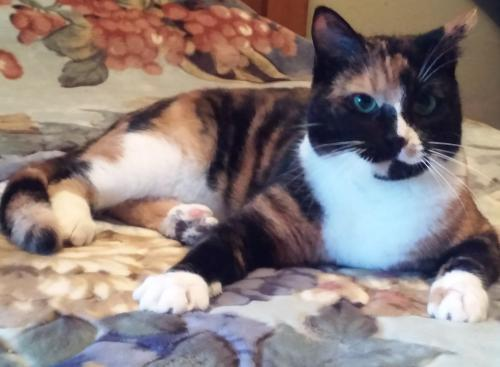Trudy, an adoptable Calico & Tortoiseshell Mix in Springfield, OR