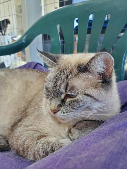 Lilah, an adoptable Siamese & Domestic Short Hair Mix in Monroe, MI