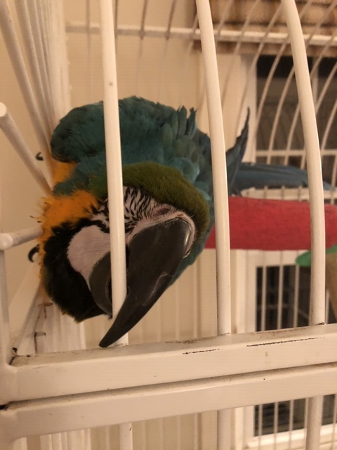 Felix, an adopted Macaw in North Babylon, NY