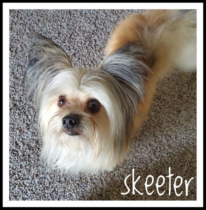 Skeeter, an adoptable Yorkshire Terrier in Kennewick, WA