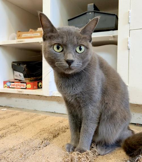 Cynthia, an adoptable Domestic Short Hair & Russian Blue Mix in Springfield, OR