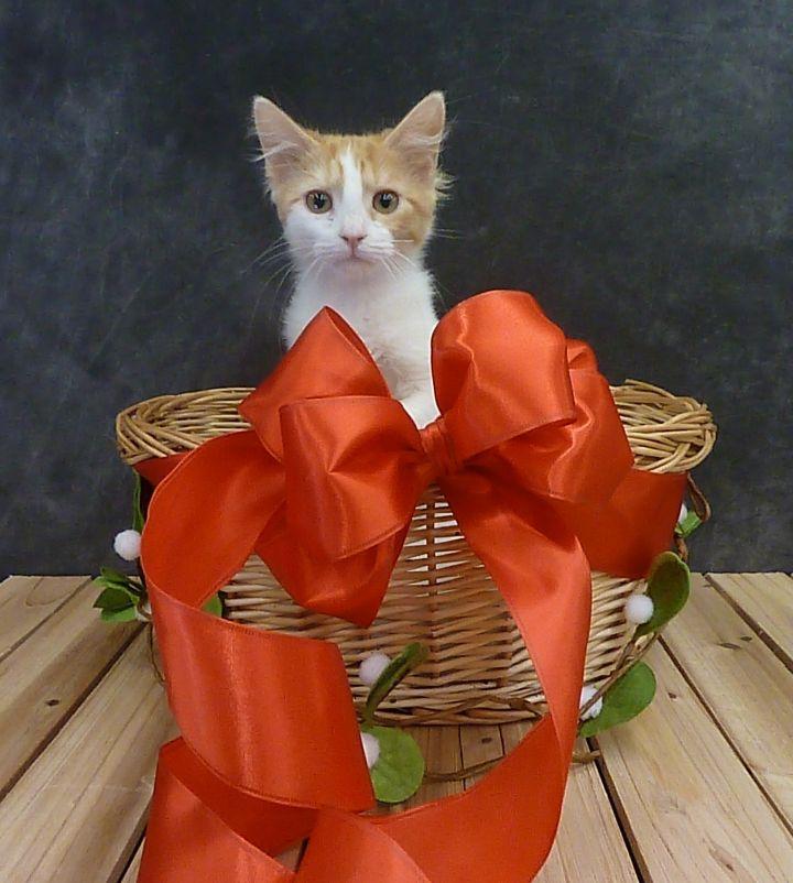 Bonnie - Fluffy Kitten 1