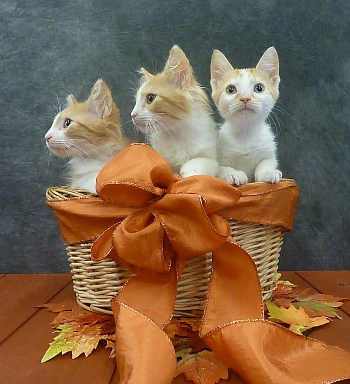 Bonnie - Fluffy Kitten 2