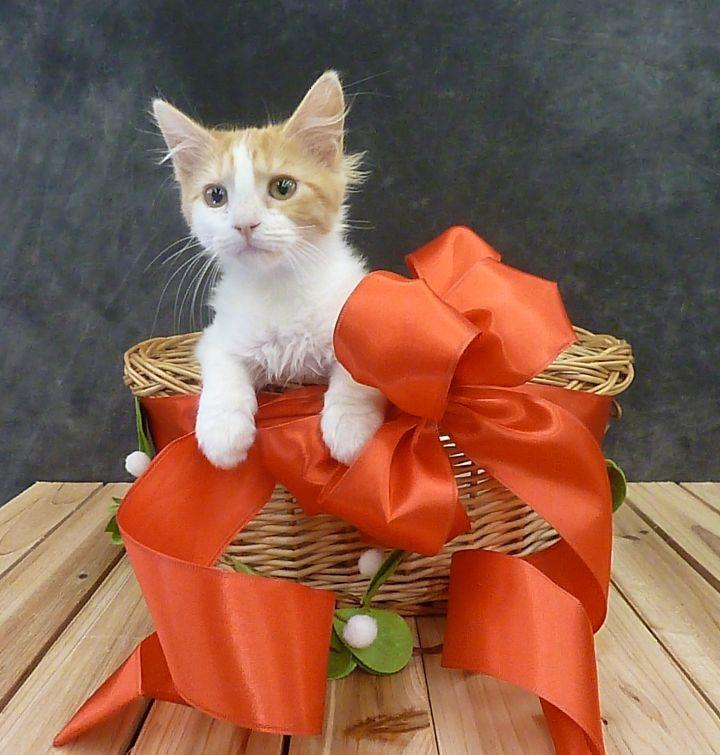 Bonnie - Fluffy Kitten 6
