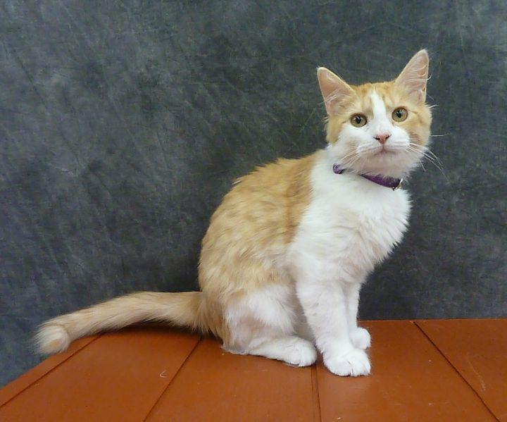 Bonnie - Fluffy Kitten 3