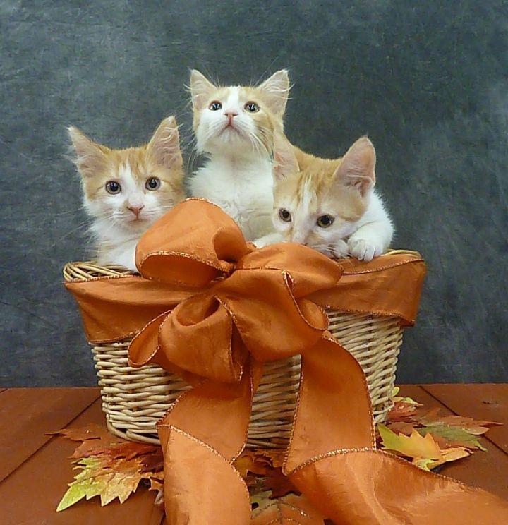 Bonnie - Fluffy Kitten 5