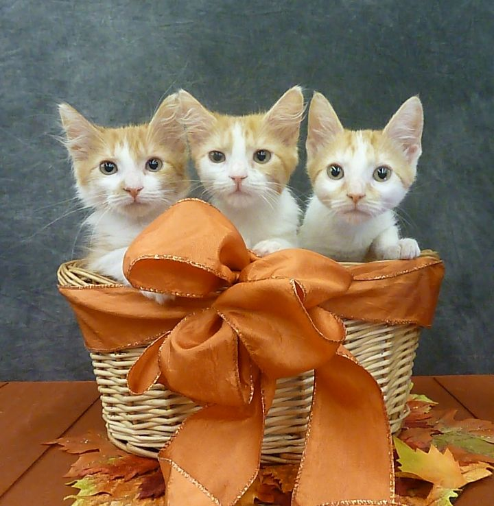 Bonnie - Fluffy Kitten 4
