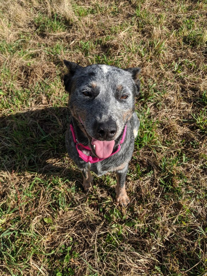 Elphie, an adoptable Australian Cattle Dog / Blue Heeler in Maysville, KY