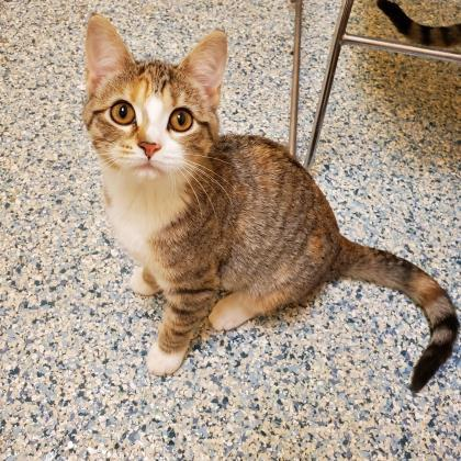 Jewel, an adoptable Domestic Short Hair in Verona, WI