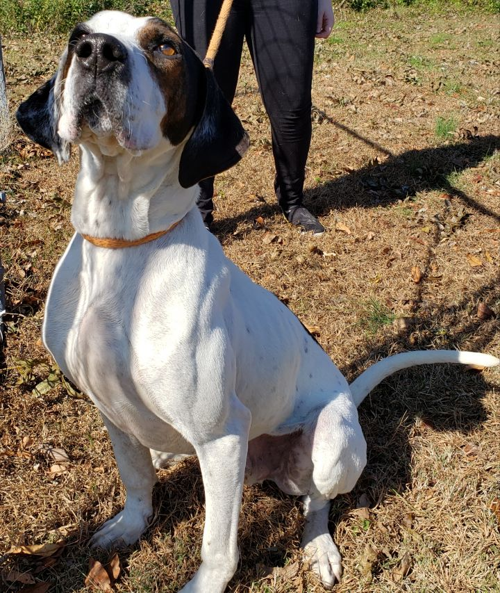 Boss, an adoptable Hound Mix in Cape Girardeau, MO