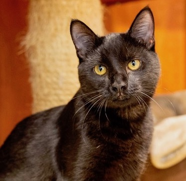 Penny, an adoptable Domestic Short Hair in Beverly Hills, CA