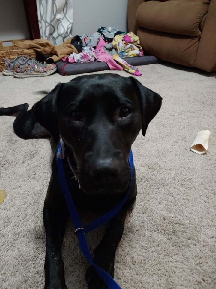 Gracie Lou, an adoptable Labrador Retriever & Shepherd Mix in New Albany, OH