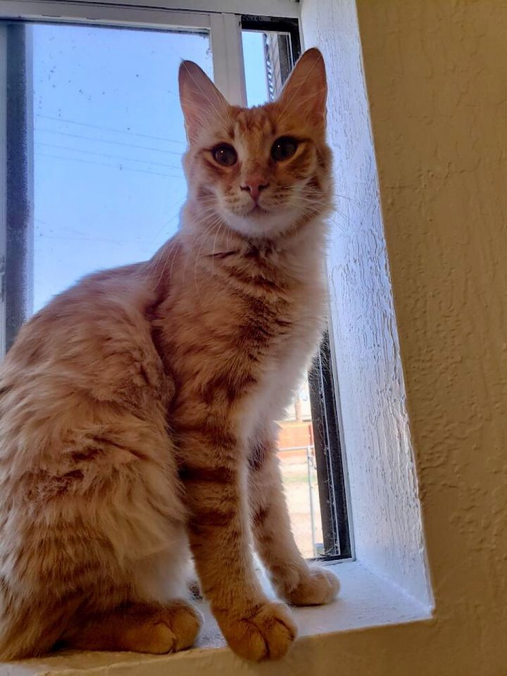 Sparky, an adoptable Tabby & Maine Coon Mix in Mission Viejo, CA