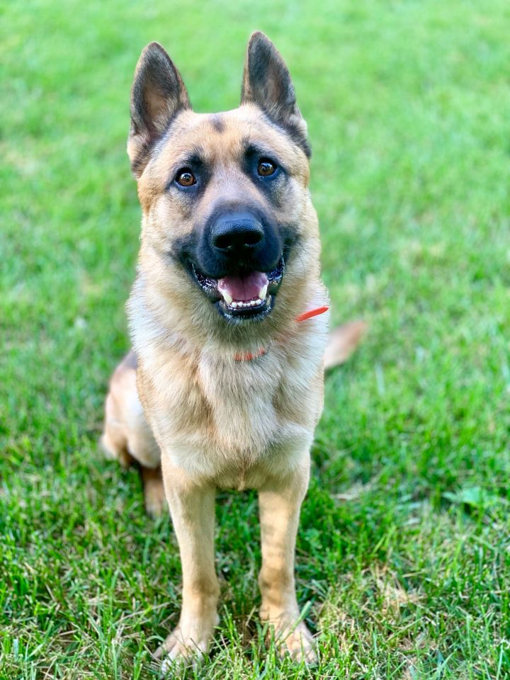 Buddy, an adoptable German Shepherd Dog in Cincinnati, OH