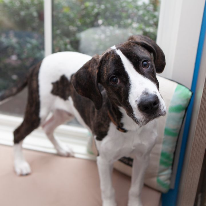 Governor, an adoptable Hound Mix in Ridgefield, CT