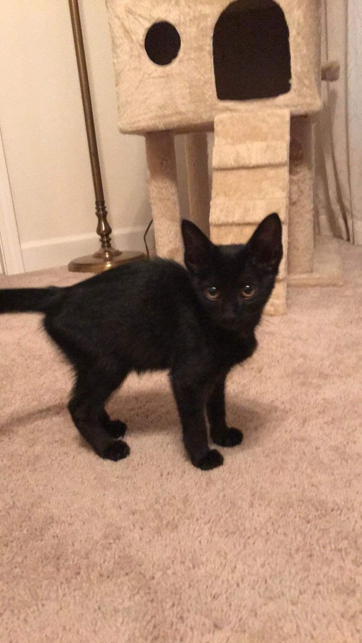 Hank Williams, an adopted Domestic Short Hair in Madison, WI