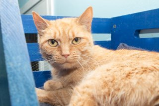 Sammy, an adoptable Domestic Short Hair in Medford, NY