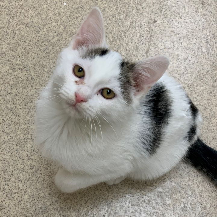 Copo, an adoptable Domestic Short Hair in Naperville, IL