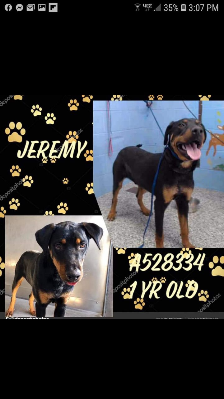 Jeremy, an adoptable Rottweiler & Labrador Retriever Mix in Portland, OR