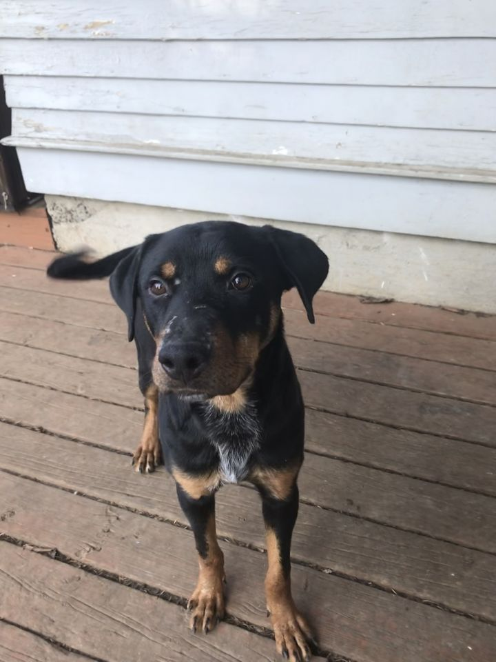 Jeremy, an adopted Rottweiler & Labrador Retriever Mix in Portland, OR