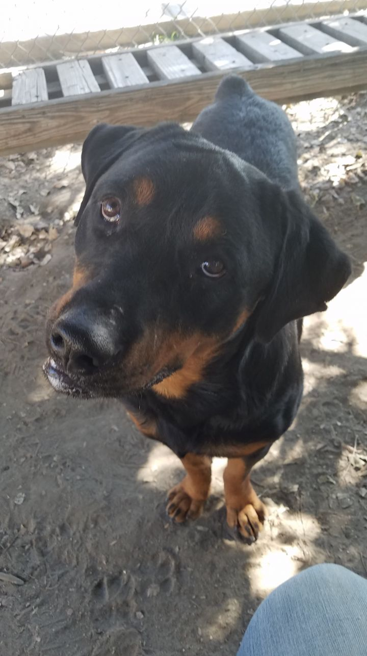 Chief, an adopted Rottweiler in Portland, OR