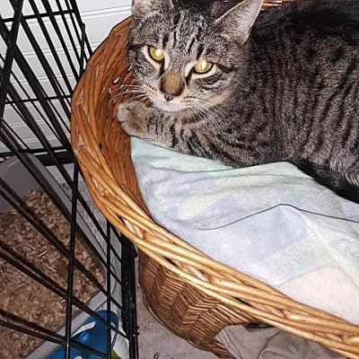 Pistacchio, an adoptable Domestic Short Hair in Medford, NY