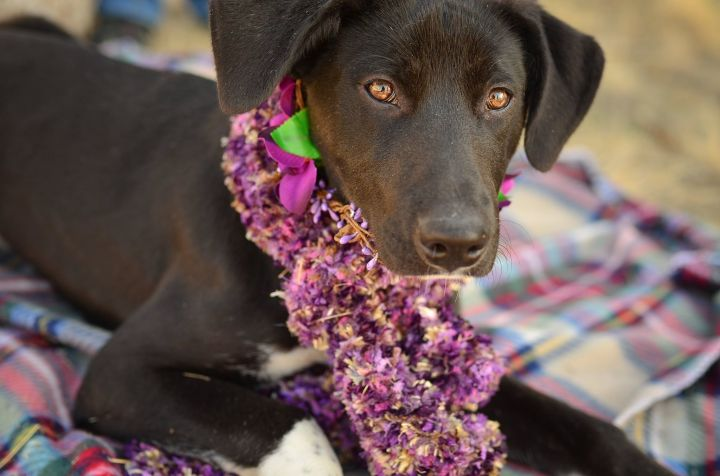 Tilly, an adopted Border Collie & Labrador Retriever Mix in Jerome, ID