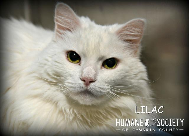 Lilac, an adoptable Domestic Long Hair in Johnstown, PA
