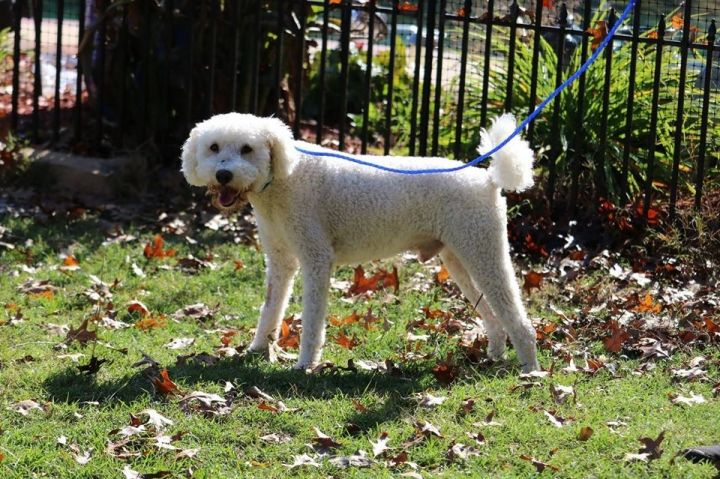 Max, an adoptable Poodle & Bichon Frise Mix in Texarkana, TX