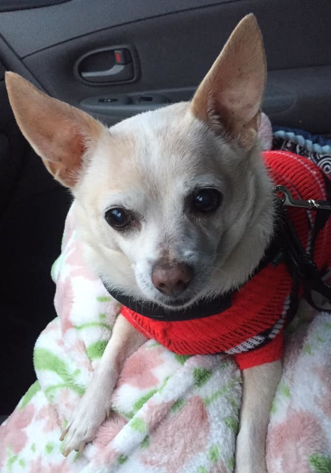 Jack, an adoptable Chihuahua in Palm Harbor, FL
