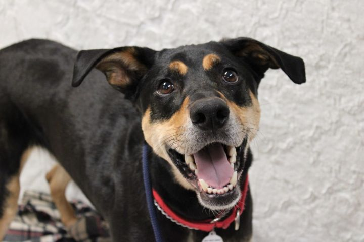 Donner, an adoptable Doberman Pinscher Mix in Medford, NY