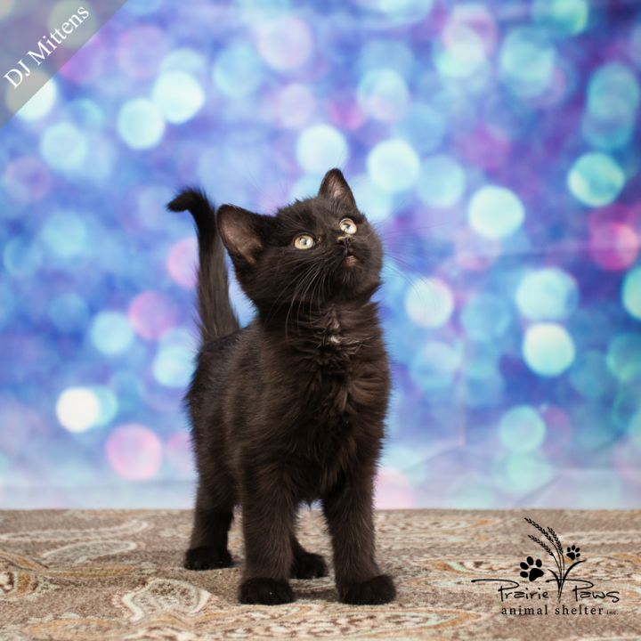 Miss DJ Mittens-CAT SALE-$25 for Adult $50 for Kittens 1