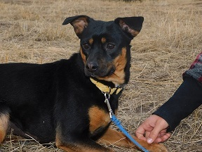 Corndog, an adopted Staffordshire Bull Terrier & Terrier Mix in Ridgway, CO