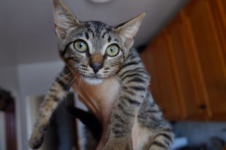 Teff, an adoptable Domestic Short Hair & Tabby Mix in Brooklyn, NY