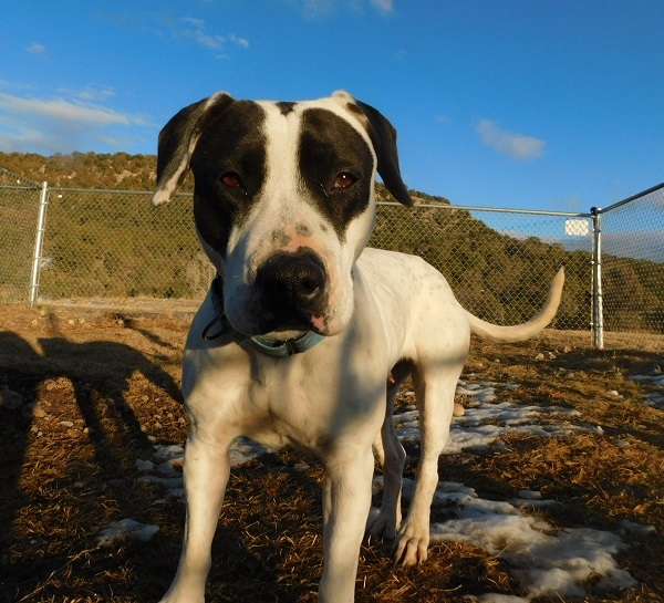 Roxy, an adoptable Pit Bull Terrier & Border Collie Mix in Ridgway, CO
