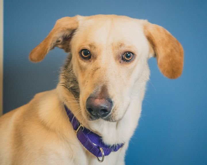 Layla, an adopted Labrador Retriever & Shepherd Mix in Bellingham, WA