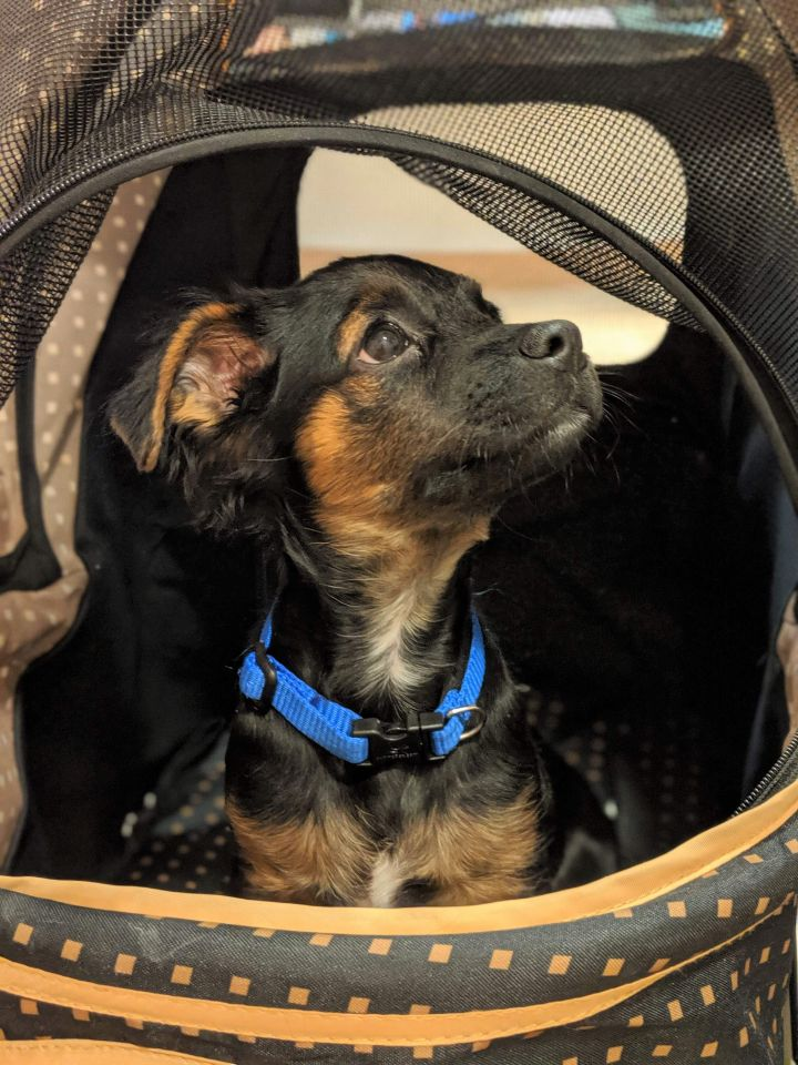 Francisco, an adopted Papillon & Chihuahua Mix in Albany, NY