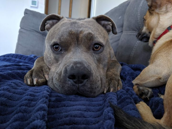 Jagger, an adopted American Staffordshire Terrier in Trenton, NJ