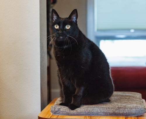 Sophie, an adoptable Domestic Short Hair Mix in Springfield, OR