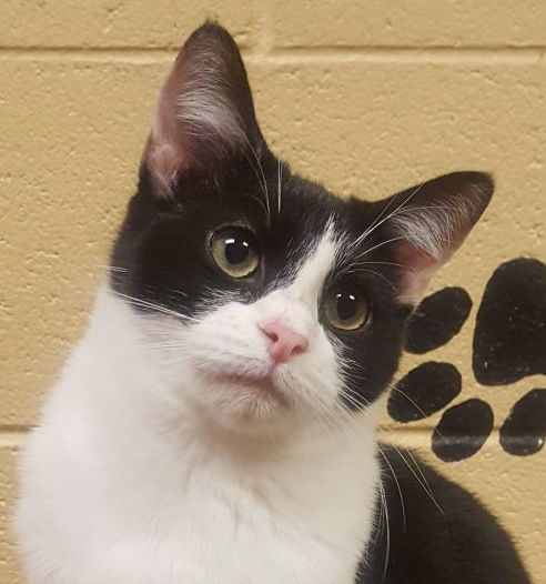 Dimi (Special Adoption Fee), an adopted Domestic Short Hair in Smithfield, NC