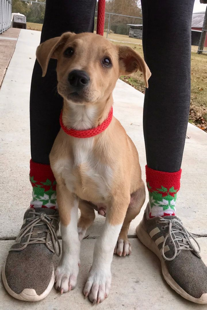 Dallan, an adoptable Labrador Retriever Mix in Carencro, LA